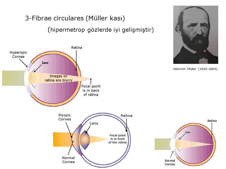 3-Fibrae circulares (Müller kası) ( hipermetrop gözlerde iyi gelişmiştir) Heinrich Müller (1920-1864).