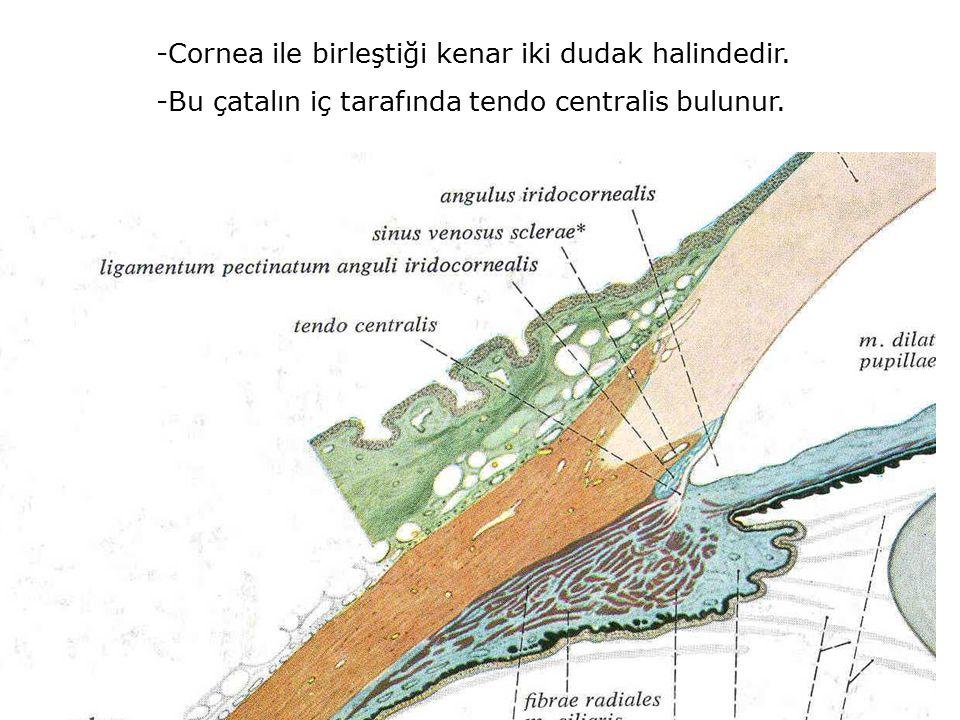 -Cornea ile birleştiği kenar iki dudak halindedir. -Bu çatalın iç tarafında tendo centralis bulunur.