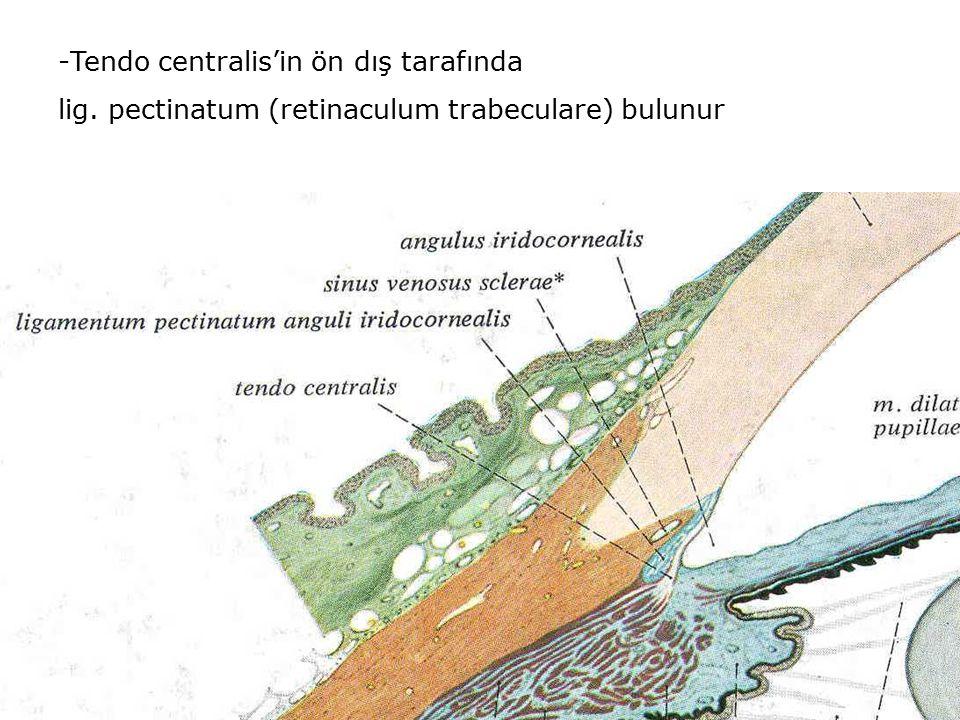 -Tendo centralis'in ön dış tarafında lig. pectinatum (retinaculum trabeculare) bulunur