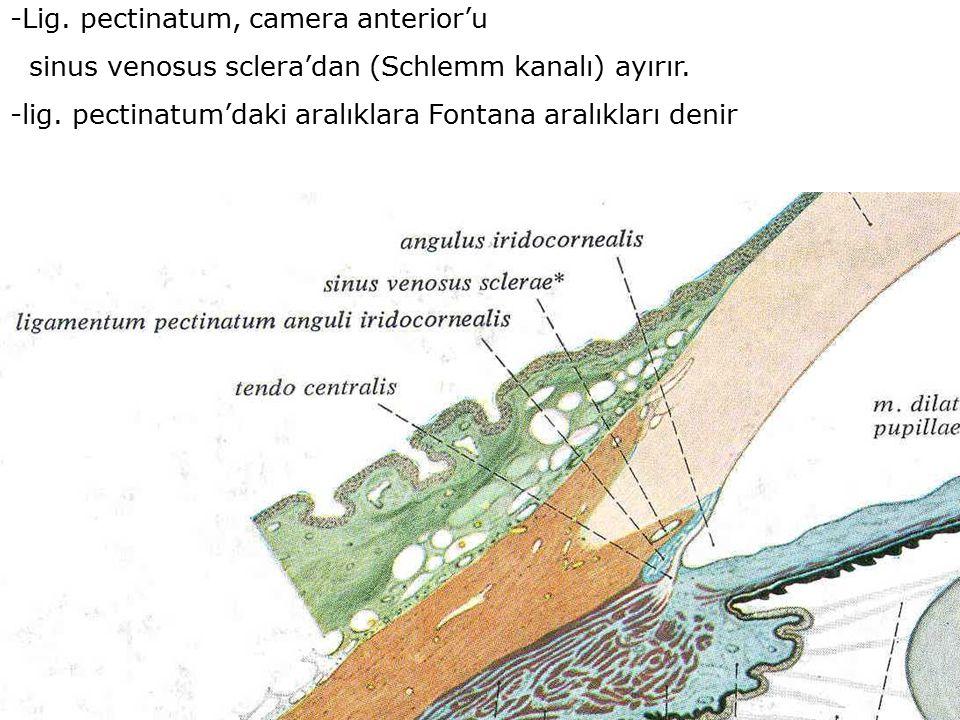 -Lig. pectinatum, camera anterior'u sinus venosus sclera'dan (Schlemm kanalı) ayırır. -lig. pectinatum'daki aralıklara Fontana aralıkları denir