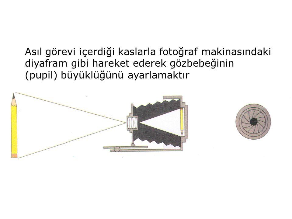 Asıl görevi içerdiği kaslarla fotoğraf makinasındaki diyafram gibi hareket ederek gözbebeğinin (pupil) büyüklüğünü ayarlamaktır