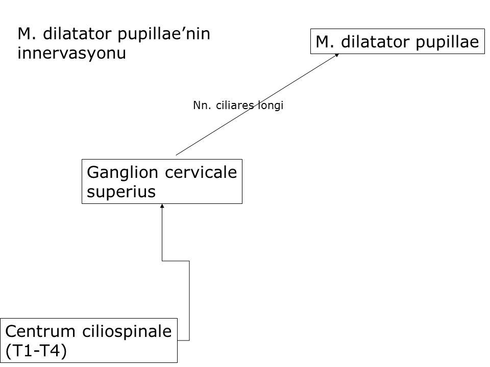 Centrum ciliospinale (T1-T4) M. dilatator pupillae'nin innervasyonu Ganglion cervicale superius Nn. ciliares longi M. dilatator pupillae