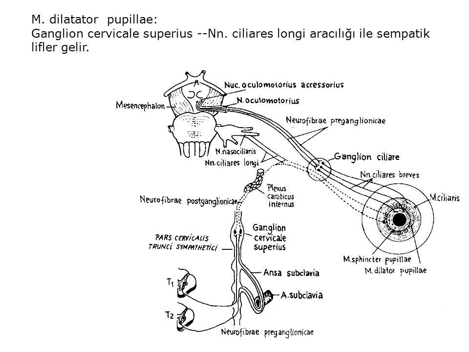 M. dilatator pupillae: Ganglion cervicale superius --Nn. ciliares longi aracılığı ile sempatik lifler gelir.
