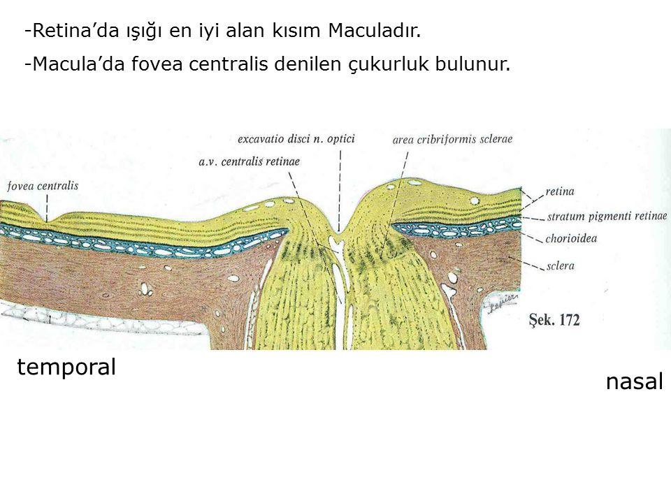 -Retina'da ışığı en iyi alan kısım Maculadır. -Macula'da fovea centralis denilen çukurluk bulunur. temporal nasal
