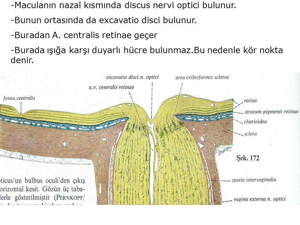 -Maculanın nazal kısmında discus nervi optici bulunur. -Bunun ortasında da excavatio disci bulunur. -Buradan A. centralis retinae geçer -Burada ışığa