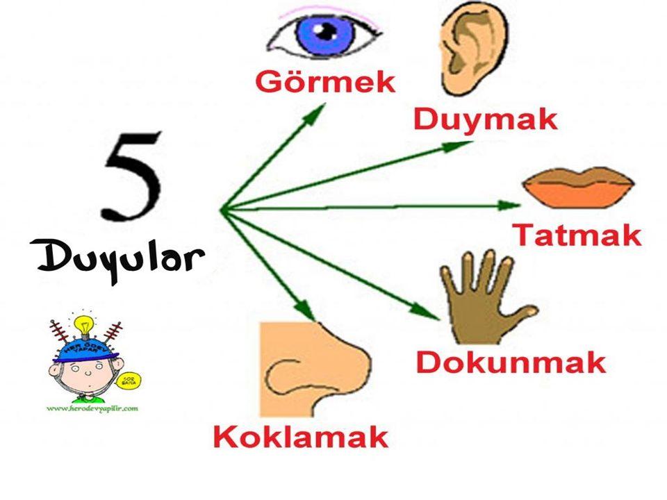  KULAK: Kulak gerek yapı gerekse de işlev bakımından a) Dış kulak b) Orta kulak c) İç kulak olmak üzere üç bölümden oluşmaktadır.