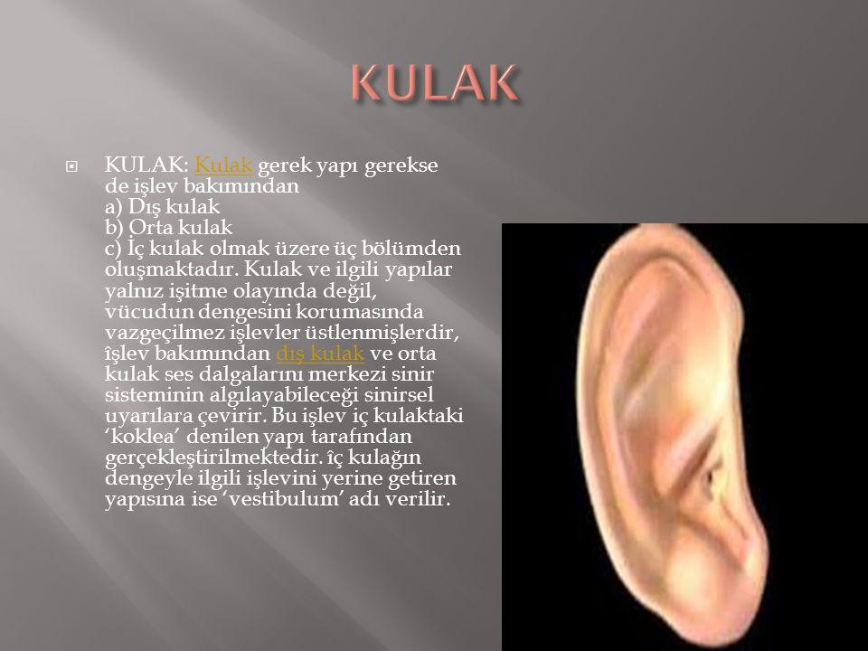  KULAK: Kulak gerek yapı gerekse de işlev bakımından a) Dış kulak b) Orta kulak c) İç kulak olmak üzere üç bölümden oluşmaktadır. Kulak ve ilgili yap