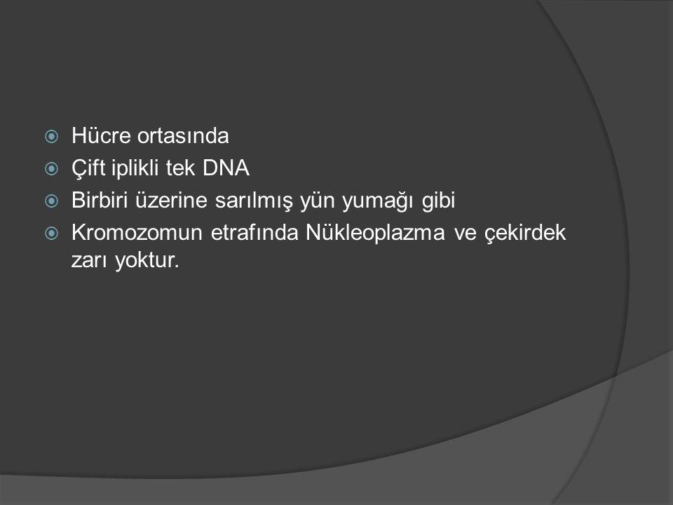  Hücre ortasında  Çift iplikli tek DNA  Birbiri üzerine sarılmış yün yumağı gibi  Kromozomun etrafında Nükleoplazma ve çekirdek zarı yoktur.