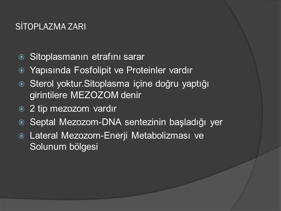 SİTOPLAZMA ZARI  Sitoplasmanın etrafını sarar  Yapısında Fosfolipit ve Proteinler vardır  Sterol yoktur.Sitoplasma içine doğru yaptığı girintilere MEZOZOM denir  2 tip mezozom vardır  Septal Mezozom-DNA sentezinin başladığı yer  Lateral Mezozom-Enerji Metabolizması ve Solunum bölgesi