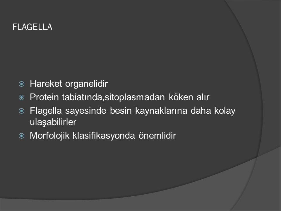 FLAGELLA  Hareket organelidir  Protein tabiatında,sitoplasmadan köken alır  Flagella sayesinde besin kaynaklarına daha kolay ulaşabilirler  Morfolojik klasifikasyonda önemlidir