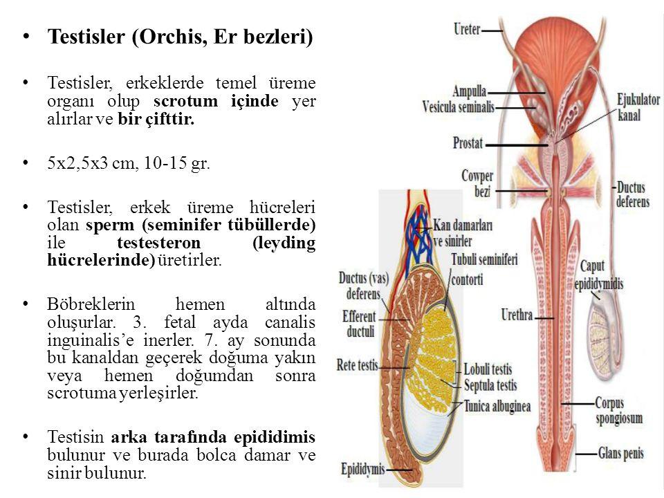 Testisler (Orchis, Er bezleri) Testisler, erkeklerde temel üreme organı olup scrotum içinde yer alırlar ve bir çifttir. 5x2,5x3 cm, 10-15 gr. Testisle