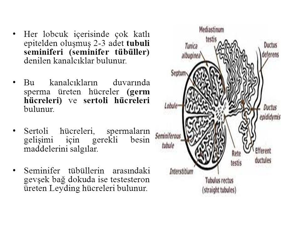 Her lobcuk içerisinde çok katlı epitelden oluşmuş 2-3 adet tubuli seminiferi (seminifer tübüller) denilen kanalcıklar bulunur. Bu kanalcıkların duvarı