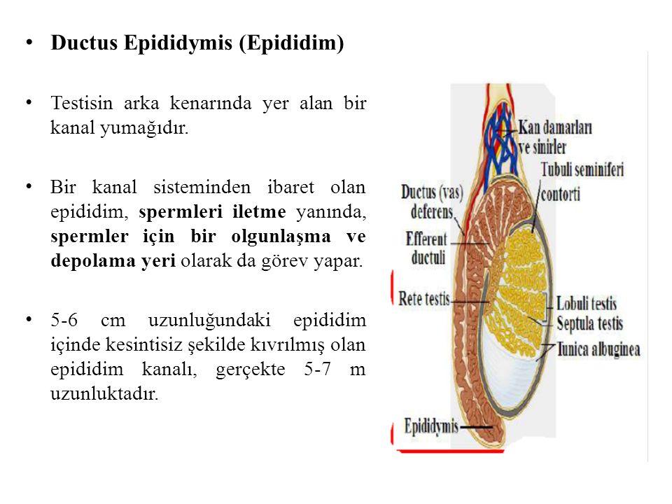 Ductus Epididymis (Epididim) Testisin arka kenarında yer alan bir kanal yumağıdır. Bir kanal sisteminden ibaret olan epididim, spermleri iletme yanınd