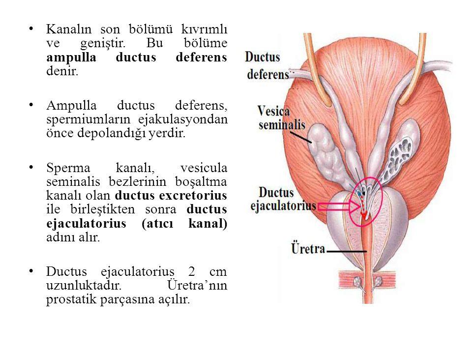Kanalın son bölümü kıvrımlı ve geniştir. Bu bölüme ampulla ductus deferens denir. Ampulla ductus deferens, spermiumların ejakulasyondan önce depolandı