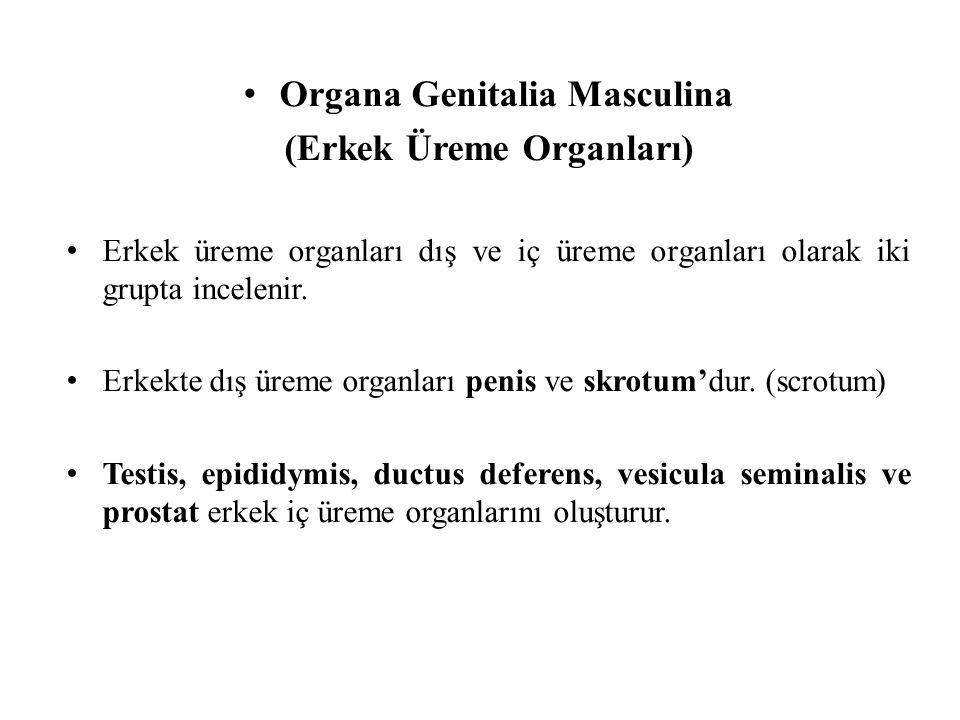 Organa Genitalia Masculina (Erkek Üreme Organları) Erkek üreme organları dış ve iç üreme organları olarak iki grupta incelenir. Erkekte dış üreme orga