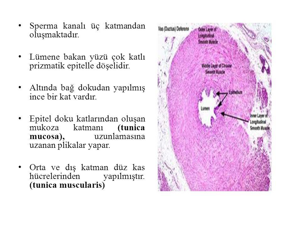 Sperma kanalı üç katmandan oluşmaktadır. Lümene bakan yüzü çok katlı prizmatik epitelle döşelidir. Altında bağ dokudan yapılmış ince bir kat vardır. E