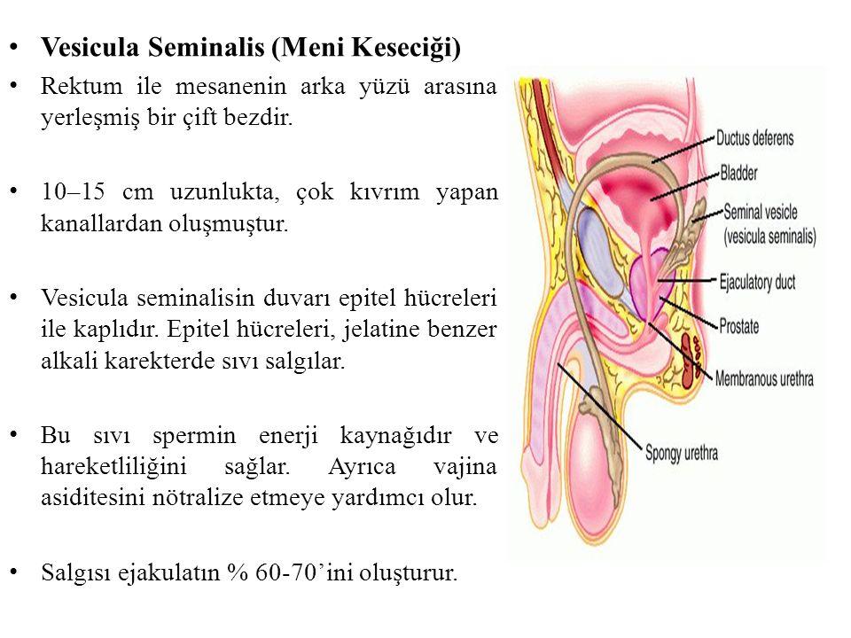 Vesicula Seminalis (Meni Keseciği) Rektum ile mesanenin arka yüzü arasına yerleşmiş bir çift bezdir. 10–15 cm uzunlukta, çok kıvrım yapan kanallardan