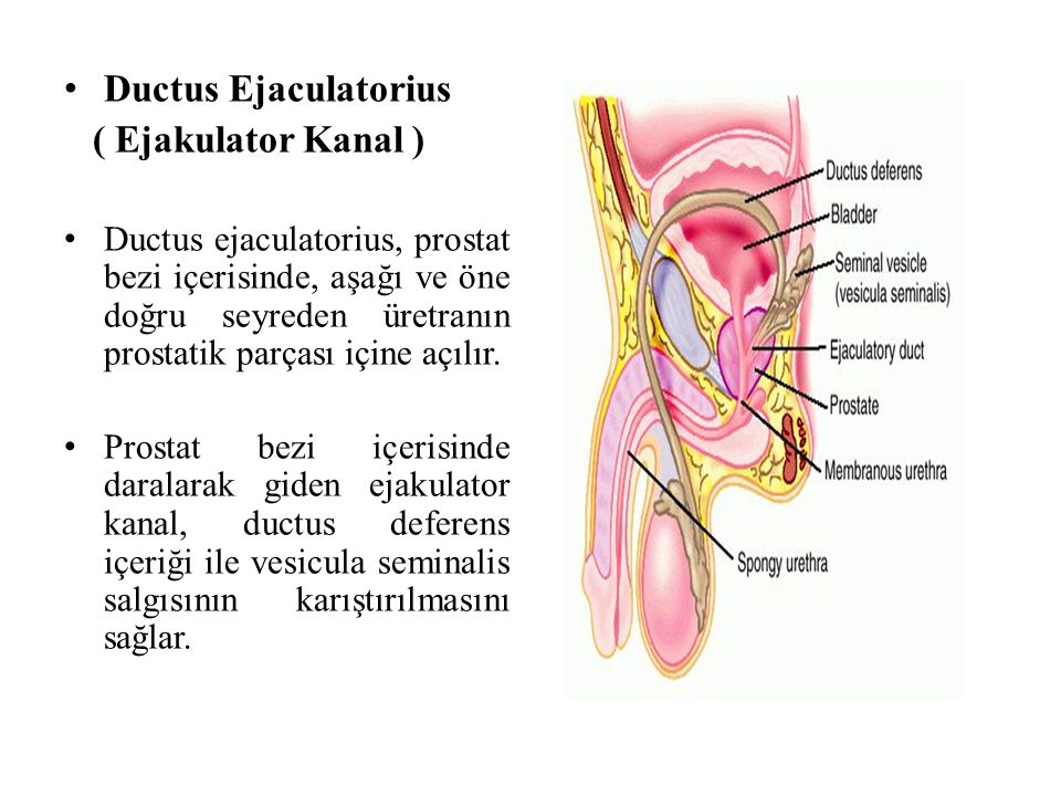 Ductus Ejaculatorius ( Ejakulator Kanal ) Ductus ejaculatorius, prostat bezi içerisinde, aşağı ve öne doğru seyreden üretranın prostatik parçası içine açılır.