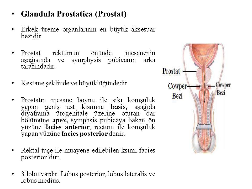 Glandula Prostatica (Prostat) Erkek üreme organlarının en büyük aksesuar bezidir. Prostat rektumun önünde, mesanenin aşağısında ve symphysis pubicanın