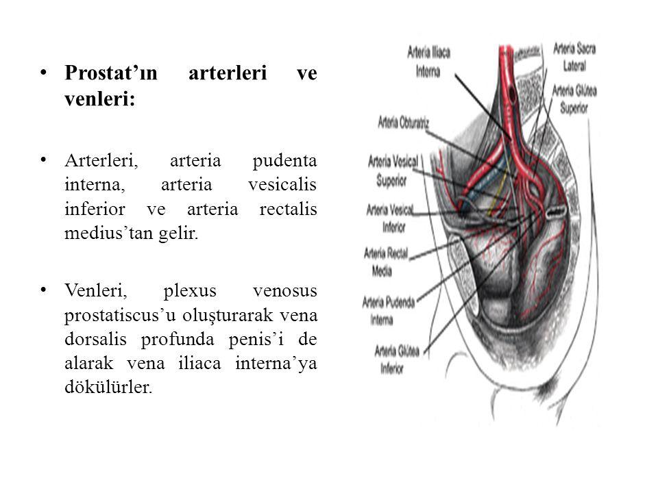 Prostat'ın arterleri ve venleri: Arterleri, arteria pudenta interna, arteria vesicalis inferior ve arteria rectalis medius'tan gelir. Venleri, plexus