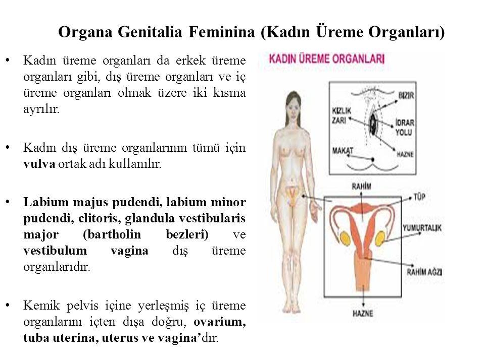Organa Genitalia Feminina (Kadın Üreme Organları) Kadın üreme organları da erkek üreme organları gibi, dış üreme organları ve iç üreme organları olmak üzere iki kısma ayrılır.