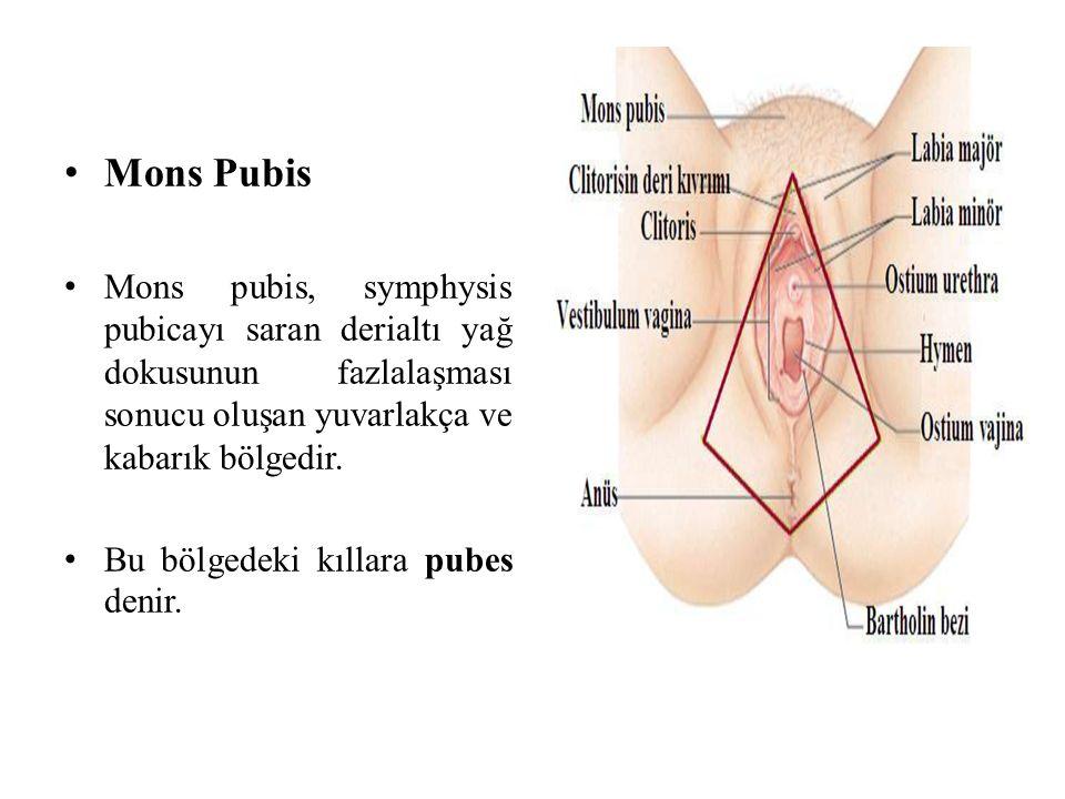 Mons Pubis Mons pubis, symphysis pubicayı saran derialtı yağ dokusunun fazlalaşması sonucu oluşan yuvarlakça ve kabarık bölgedir. Bu bölgedeki kıllara