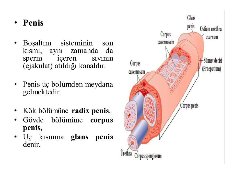 Penis Boşaltım sisteminin son kısmı, aynı zamanda da sperm içeren sıvının (ejakulat) atıldığı kanaldır. Penis üç bölümden meydana gelmektedir. Kök böl
