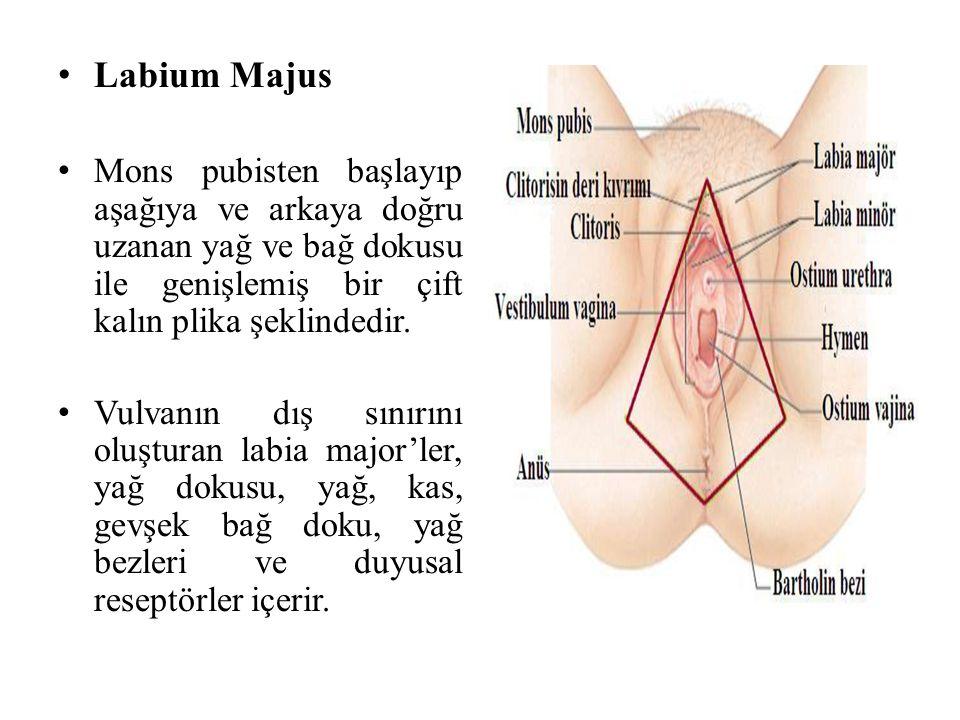Labium Majus Mons pubisten başlayıp aşağıya ve arkaya doğru uzanan yağ ve bağ dokusu ile genişlemiş bir çift kalın plika şeklindedir. Vulvanın dış sın