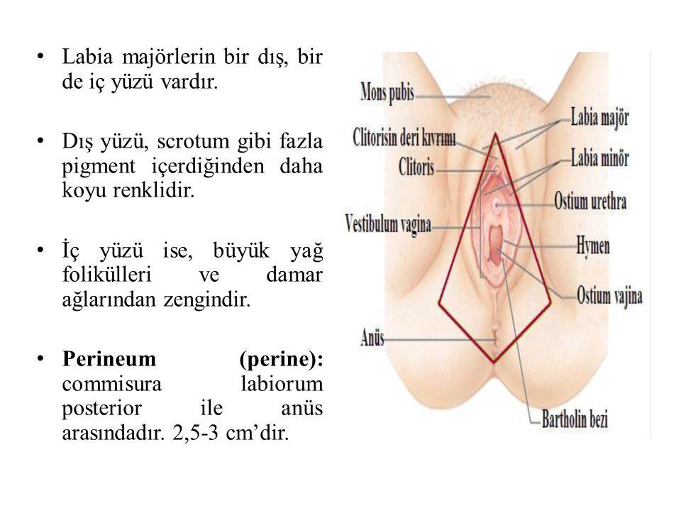 Labia majörlerin bir dış, bir de iç yüzü vardır. Dış yüzü, scrotum gibi fazla pigment içerdiğinden daha koyu renklidir. İç yüzü ise, büyük yağ folikül