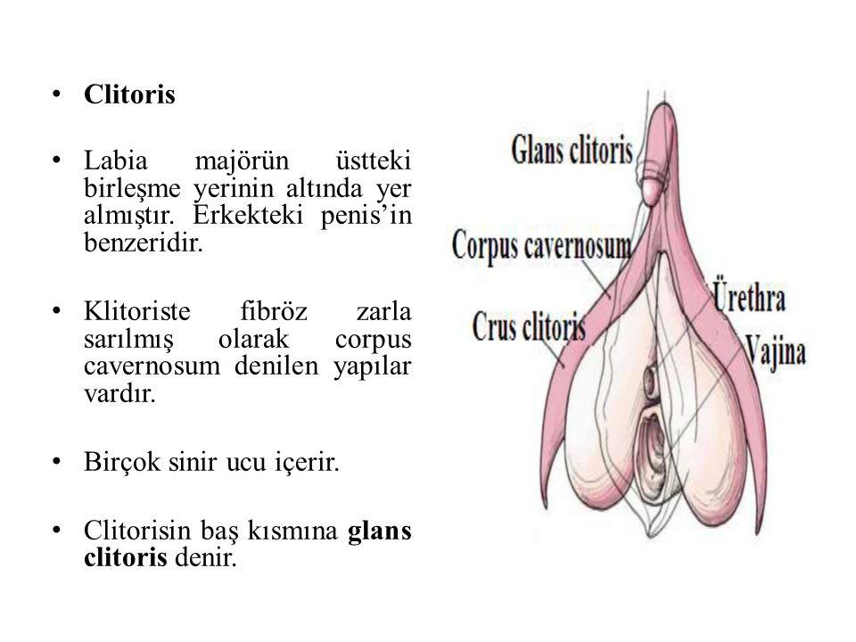 Clitoris Labia majörün üstteki birleşme yerinin altında yer almıştır. Erkekteki penis'in benzeridir. Klitoriste fibröz zarla sarılmış olarak corpus ca