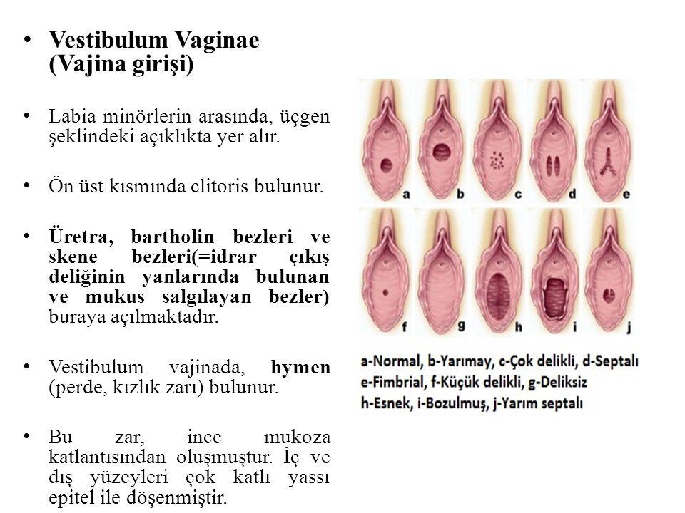 Vestibulum Vaginae (Vajina girişi) Labia minörlerin arasında, üçgen şeklindeki açıklıkta yer alır.
