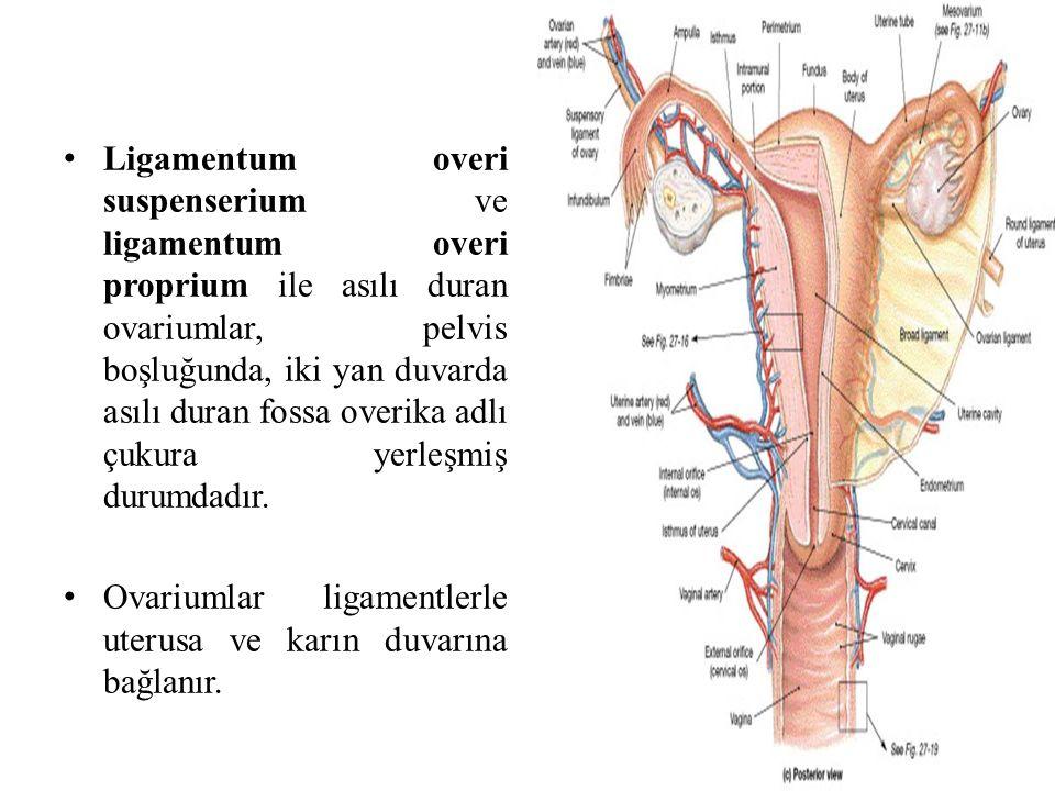 Ligamentum overi suspenserium ve ligamentum overi proprium ile asılı duran ovariumlar, pelvis boşluğunda, iki yan duvarda asılı duran fossa overika ad