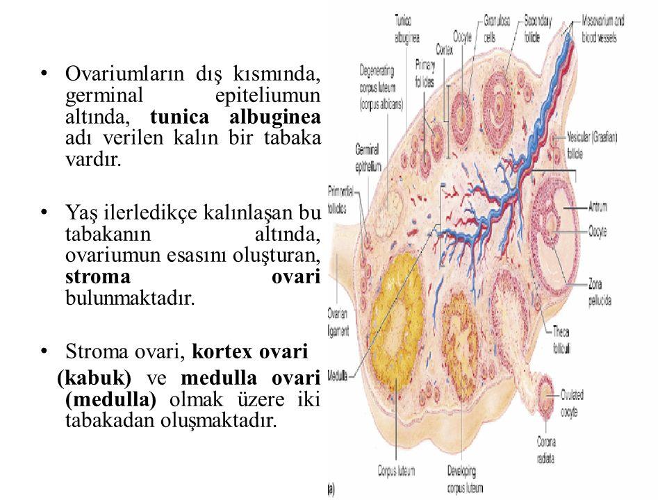 Ovariumların dış kısmında, germinal epiteliumun altında, tunica albuginea adı verilen kalın bir tabaka vardır. Yaş ilerledikçe kalınlaşan bu tabakanın