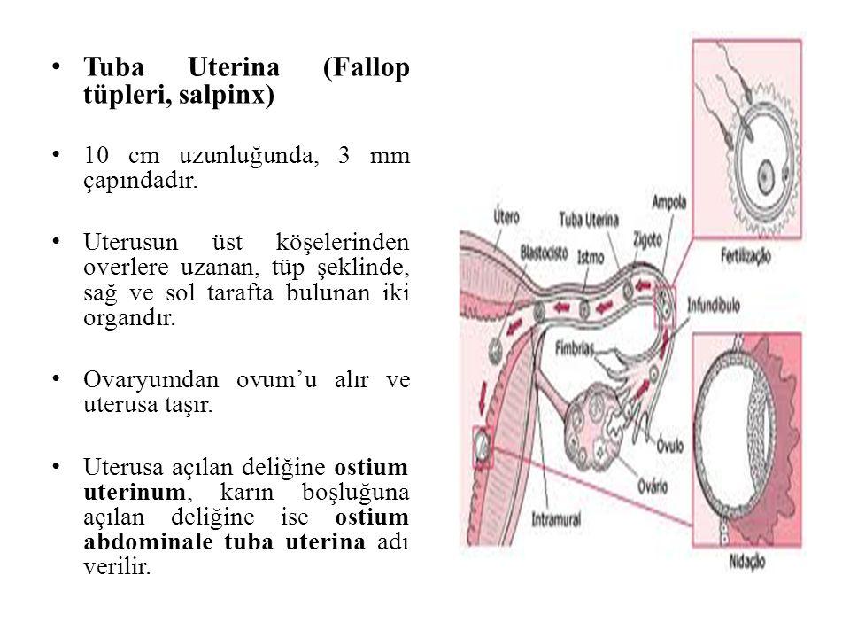 Tuba Uterina (Fallop tüpleri, salpinx) 10 cm uzunluğunda, 3 mm çapındadır. Uterusun üst köşelerinden overlere uzanan, tüp şeklinde, sağ ve sol tarafta