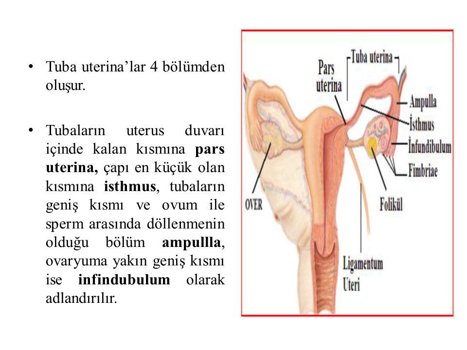 Tuba uterina'lar 4 bölümden oluşur. Tubaların uterus duvarı içinde kalan kısmına pars uterina, çapı en küçük olan kısmına isthmus, tubaların geniş kıs