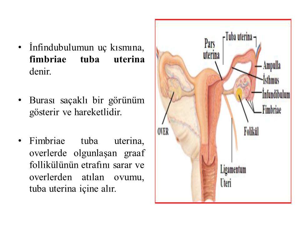 İnfindubulumun uç kısmına, fimbriae tuba uterina denir. Burası saçaklı bir görünüm gösterir ve hareketlidir. Fimbriae tuba uterina, overlerde olgunlaş