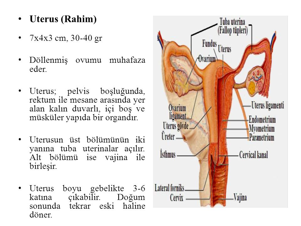 Uterus (Rahim) 7x4x3 cm, 30-40 gr Döllenmiş ovumu muhafaza eder. Uterus; pelvis boşluğunda, rektum ile mesane arasında yer alan kalın duvarlı, içi boş