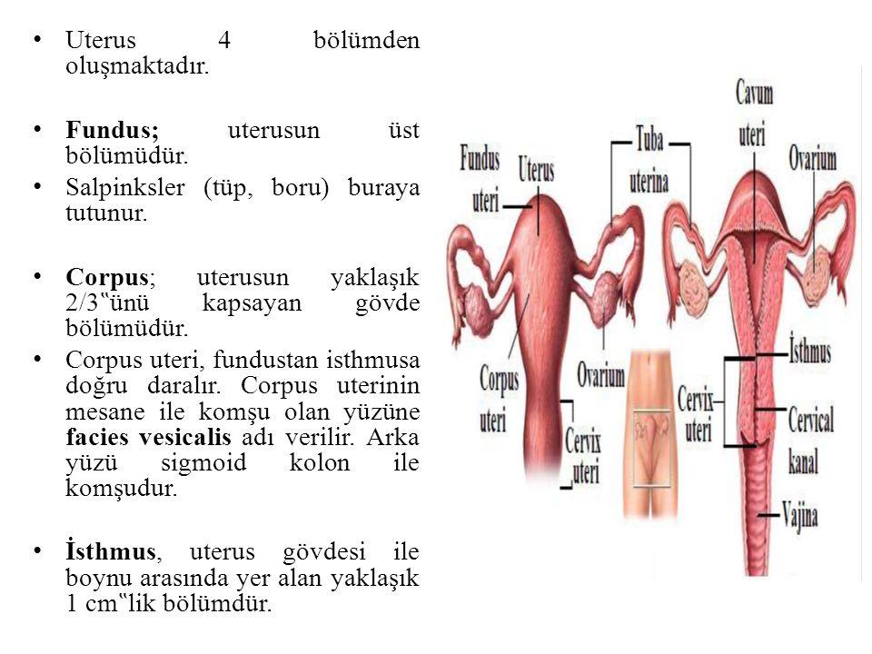 """Uterus 4 bölümden oluşmaktadır. Fundus; uterusun üst bölümüdür. Salpinksler (tüp, boru) buraya tutunur. Corpus; uterusun yaklaşık 2/3 """" ünü kapsayan g"""