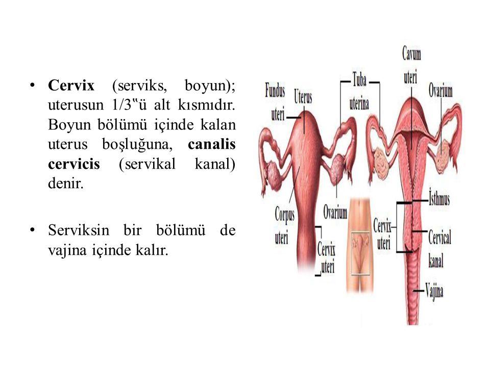 """Cervix (serviks, boyun); uterusun 1/3 """" ü alt kısmıdır. Boyun bölümü içinde kalan uterus boşluğuna, canalis cervicis (servikal kanal) denir. Serviksin"""