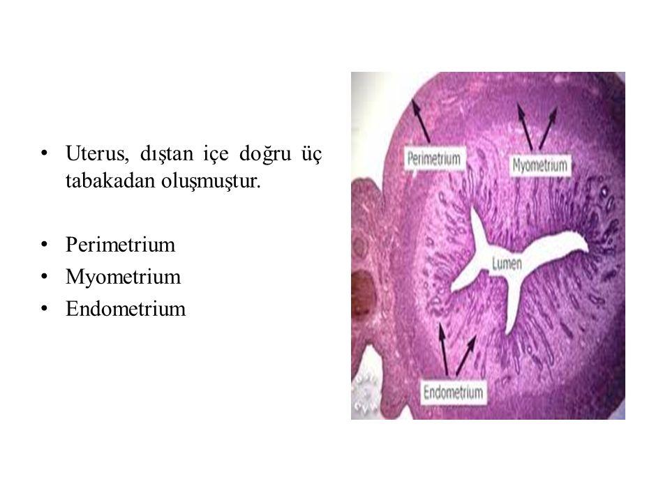 Uterus, dıştan içe doğru üç tabakadan oluşmuştur. Perimetrium Myometrium Endometrium