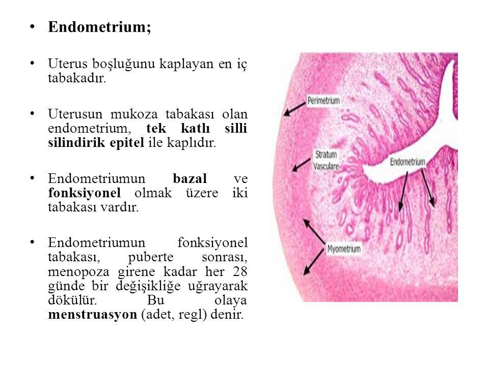 Endometrium; Uterus boşluğunu kaplayan en iç tabakadır. Uterusun mukoza tabakası olan endometrium, tek katlı silli silindirik epitel ile kaplıdır. End