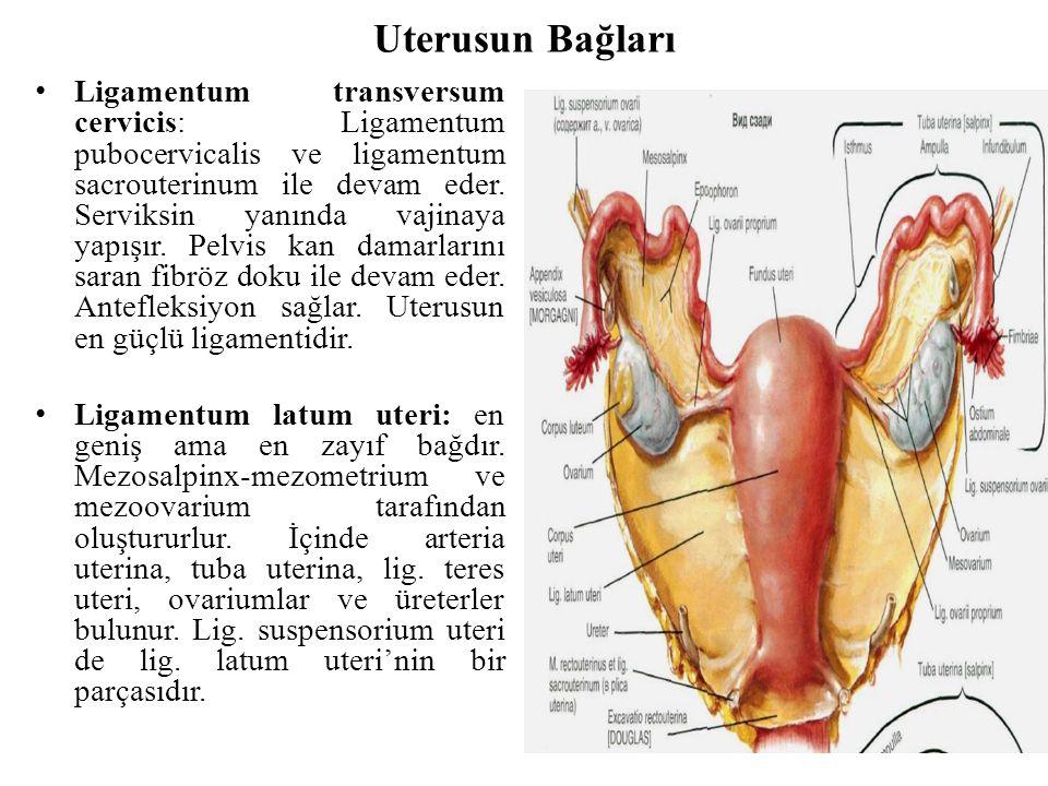 Uterusun Bağları Ligamentum transversum cervicis: Ligamentum pubocervicalis ve ligamentum sacrouterinum ile devam eder. Serviksin yanında vajinaya yap
