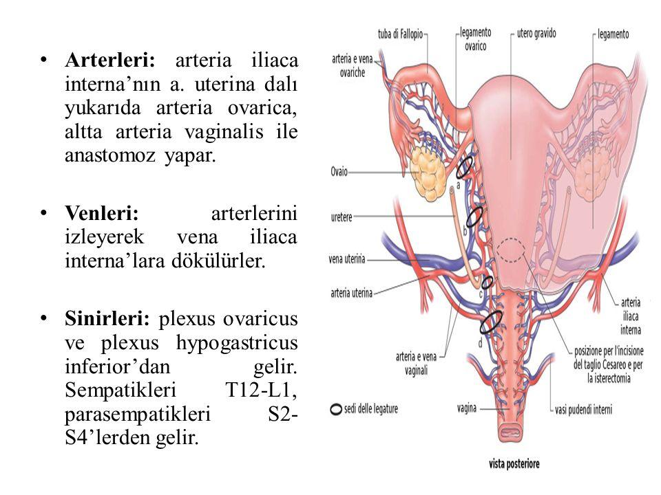 Arterleri: arteria iliaca interna'nın a. uterina dalı yukarıda arteria ovarica, altta arteria vaginalis ile anastomoz yapar. Venleri: arterlerini izle