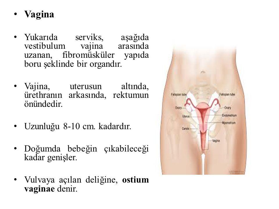 Vagina Yukarıda serviks, aşağıda vestibulum vajina arasında uzanan, fibromüsküler yapıda boru şeklinde bir organdır. Vajina, uterusun altında, ürethra