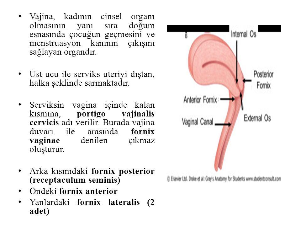 Vajina, kadının cinsel organı olmasının yanı sıra doğum esnasında çocuğun geçmesini ve menstruasyon kanının çıkışını sağlayan organdır. Üst ucu ile se