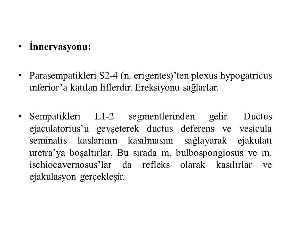 İnnervasyonu: Parasempatikleri S2-4 (n. erigentes)'ten plexus hypogatricus inferior'a katılan liflerdir. Ereksiyonu sağlarlar. Sempatikleri L1-2 segme