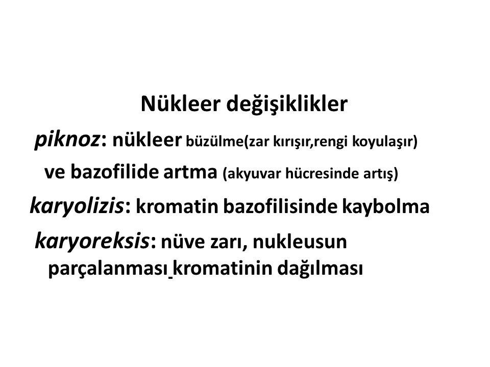 Nükleer değişiklikler piknoz: nükleer büzülme(zar kırışır,rengi koyulaşır) ve bazofilide artma (akyuvar hücresinde artış) karyolizis: kromatin bazofil