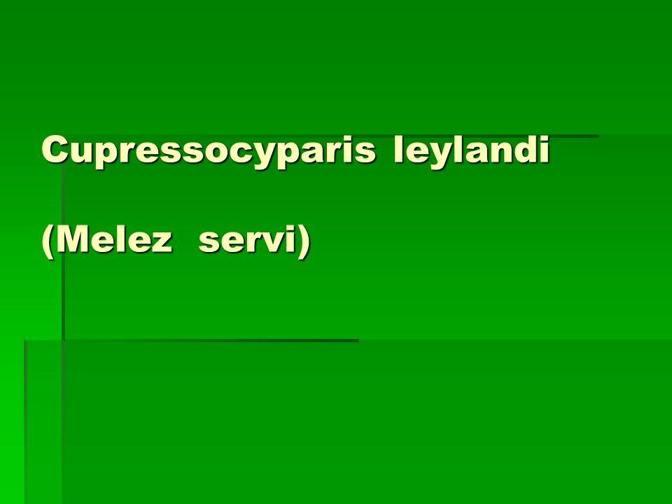 Cupressocyparis leylandi (Melez servi)