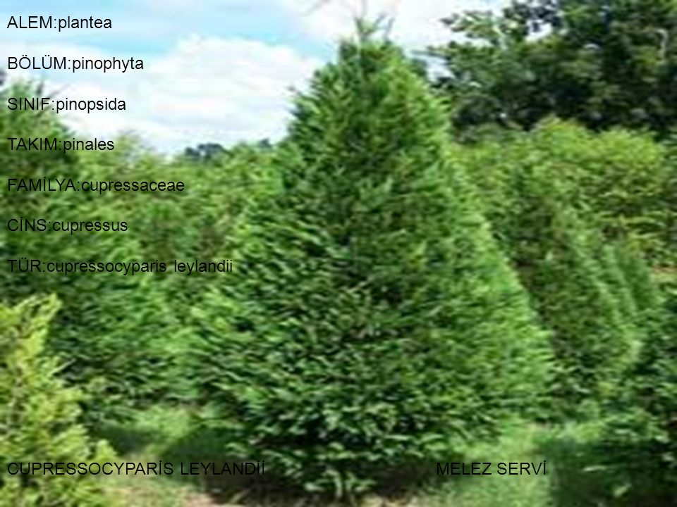 ALEM:plantea BÖLÜM:pinophyta SINIF:pinopsida TAKIM:pinales FAMİLYA:cupressaceae CİNS:cupressus TÜR:cupressocyparis leylandii CUPRESSOCYPARİS LEYLANDİİ MELEZ SERVİ