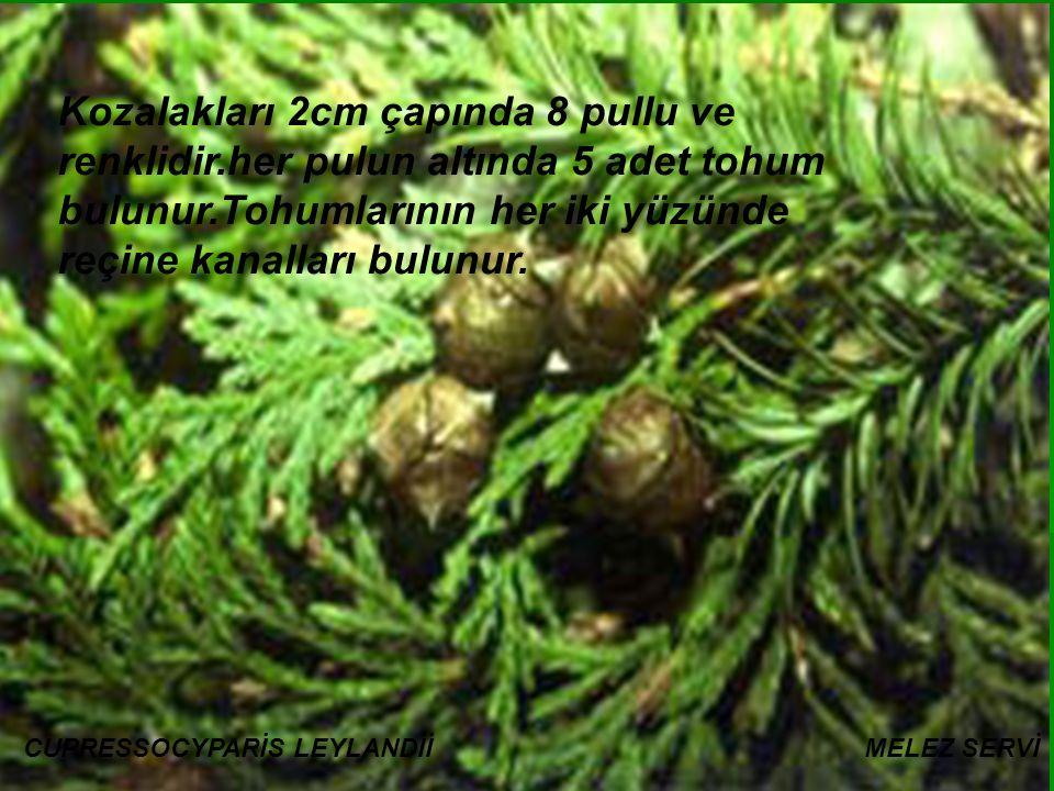 Kozalakları 2cm çapında 8 pullu ve renklidir.her pulun altında 5 adet tohum bulunur.Tohumlarının her iki yüzünde reçine kanalları bulunur.